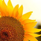 Big, Bright Sun Flower by kelleygirl