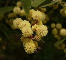 LT Acacia Blossoms 2 by beeden