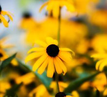 Black Eyed Susan by krysleighphoto