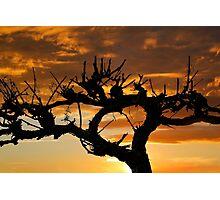 Grape Vine Silhouette Photographic Print