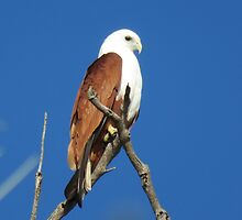 The Guardian (Brahminy Kite) by FIONA M. HENSHAW