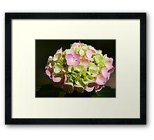 Sunlit Hydrangea Framed Print