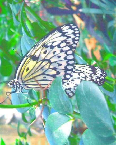 """""""Double Butterflies"""" by Deb  Badt-Covell"""