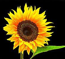 sunflower by wendywoo1972