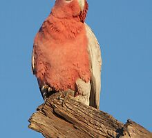 Galah by Robert Elliott