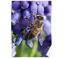 Bee on Grape Hyacinth Poster