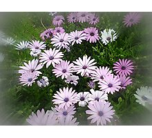 Nature's bouquet of Daisies Photographic Print