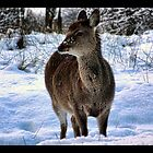 sika  deer in the snow by brett watson