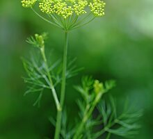 Fresh Dill by Debbie Oppermann