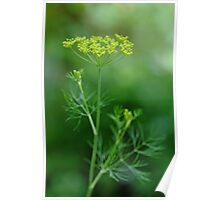 Fresh Dill Poster
