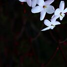 Jasmine... smells like spring by Sandy Sutton