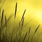 Golden grass by catrionam