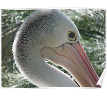 Adelaide Zoo Pelican Poster