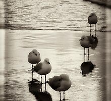 Silver Gulls on the beach by Tony Steinberg