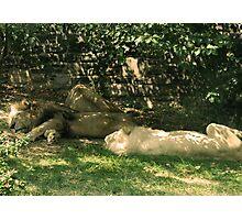 Sleeping Lions Photographic Print