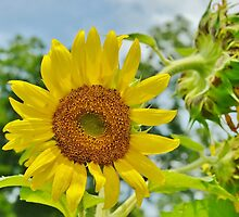 Bright Yellow Sunflower by Scott Mitchell