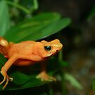 Golden Mantella 2 by Alyce Taylor