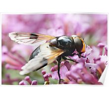 Large Unusual Hoverfly on a Flower Poster