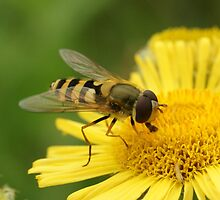 Hover Fly on yellow flower by MendipBlue