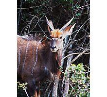 Nyala Buck Photographic Print