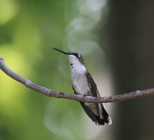 Ruby-Throated Hummingbird  by Dave & Trena Puckett