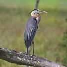 Blue Heron Series by Deborah  Benoit