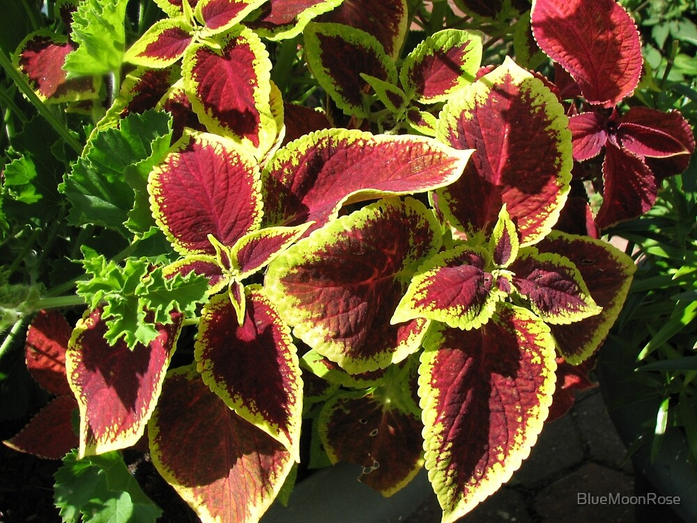 Sunlit Coleus Leaves by BlueMoonRose