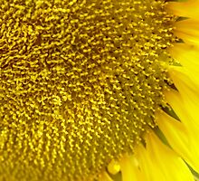 Sunflower by Annabella