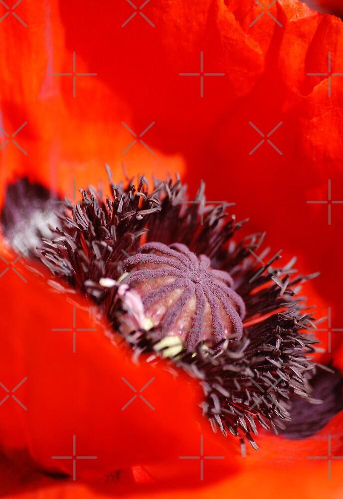 Poppy by SweetLemon