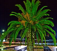 Night Shot Palm Tree Albury NSW by David Woolcock