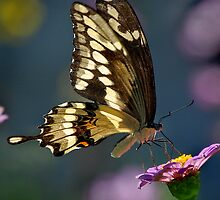 Giant Swallowtail by Victoria Jostes