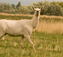 White Cow Elk, Montana Elk Photo by Donna Ridgway