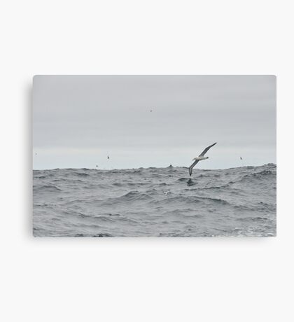 Albatross Canvas Print