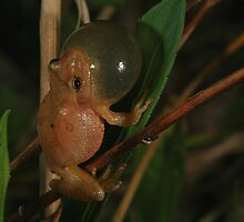 Spring Peeper by naturalnomad