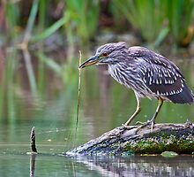 Junvenile Black-Crowned Heron by (Tallow) Dave  Van de Laar