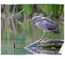 Junvenile Black-Crowned Heron Poster