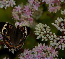 Madam Butterfly by Dennis Rubin IPA