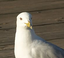 Steven Sea Gull by Bob Hardy