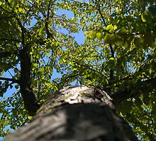 Arboretum Katsura Tree 2 by photosbycoleen