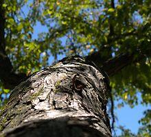 Arboretum Katsura Tree 3 by photosbycoleen