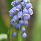 First Muscari of Spring by Kahlia Huddleston