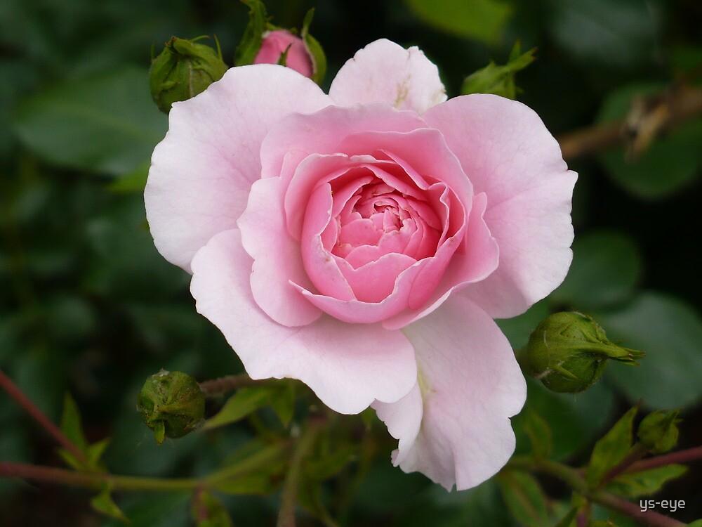 Rose by ys-eye