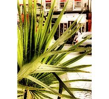 Greenwich Palm Photographic Print