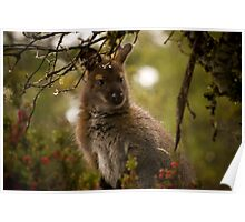Winter Wallaby Poster