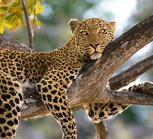 Leopard (Panthera pardus), Moremi Game Reserve, Botswana by Neville Jones