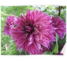 Grape Dahlia Trio Poster