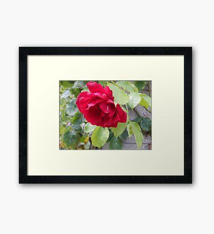 beautiful bright pink rose Framed Print