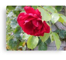 beautiful bright pink rose Canvas Print