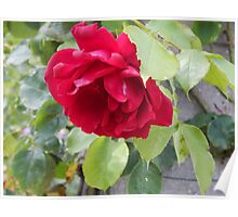 beautiful bright pink rose Poster