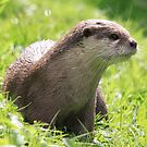 European Otter (Lutra lutra) by DutchLumix